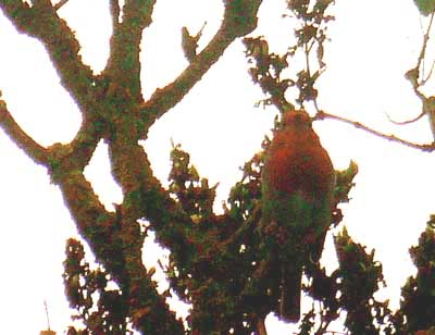 Robin in Tree in Kinnerton Wales
